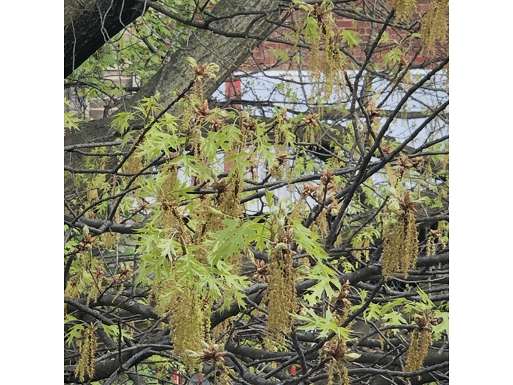 sprouted oak tree buds