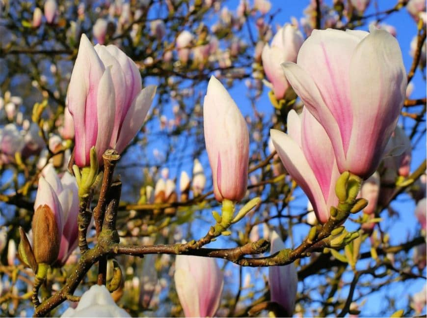 close up picture of saucer magnolia blooms