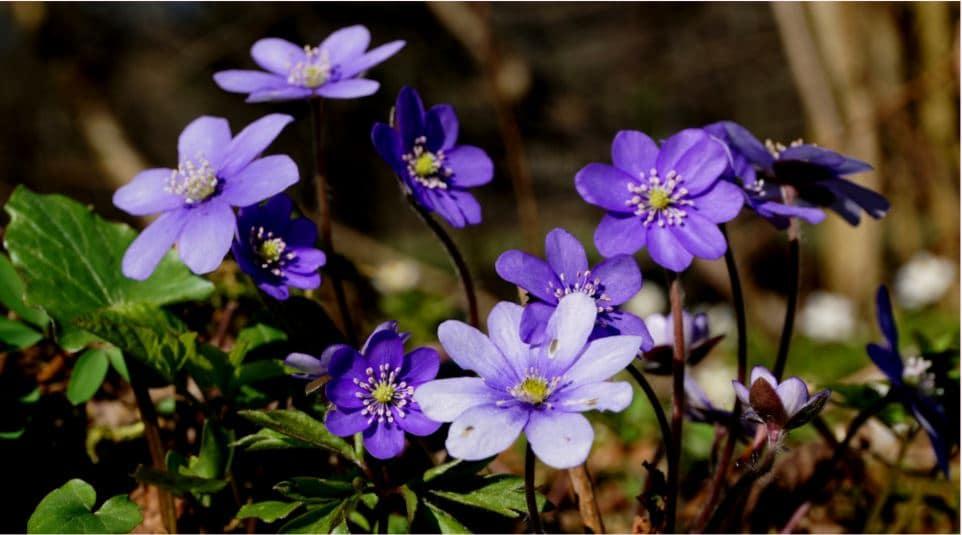 hepacita flowers