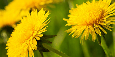 close up image of dandelions