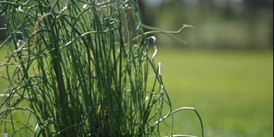 close up image of onion grass